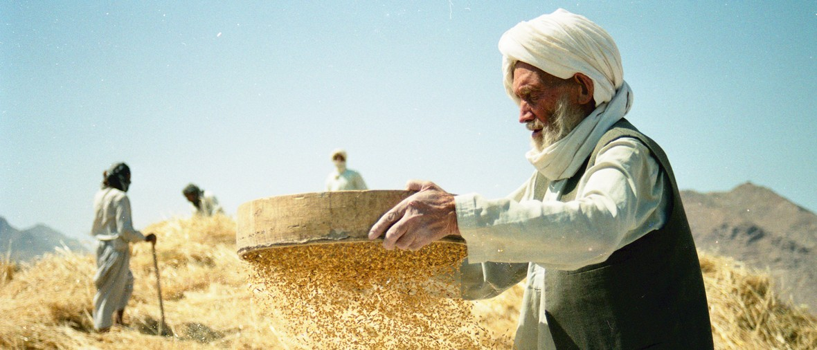 Herat, July  2005 - Afghan peasant  hand threshing in a field near the town